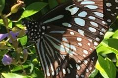 Blue Dappled Butterfly