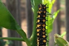 caterpillar-on-citrus